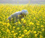 SEA estimates oilseed crops production at 251.49 lakh tonnes