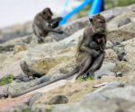 INDONESIA SEMARANG LONG TAILED MACAQUES
