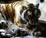 CHINA SHENYANG SIBERIAN TIGER CUBS
