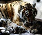 CHINA SHENYANG SIBERIAN TIGER CUBS