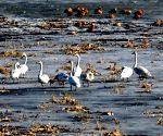 CHINA HEBEI WETLAND SWANS