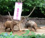 SINGAPORE-ZOO-YEAR OF THE PIG-DECORATIONS