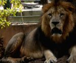Sri Lanka's Covid-infected lion recovering