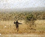 FAO warns India of locust attack, choppers pressed into service