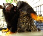 GSPC gifts Tamarin Monkeys to Nehru Zoological Park