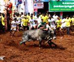 Alanganallur (Tamil Nadu): Jallikattu