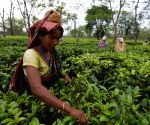 Make all Assam tea garden workers' accounts DBT compatible: FM