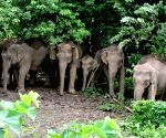 On way home: Tuskers tranquilised, head for Pilibhit forest(IANS Special)