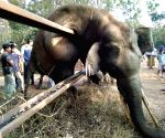 Elephant dies while trying to cross iron fence