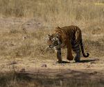 Now, Ranthambore's Machali inspires a book on  human survival