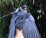 Satellite-tagged Amur falcon killed in Manipur