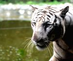 White Tiger at Alipore Zoological Gardens