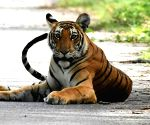 Re-wilding big prey animals help restoring tiger habitat: Study