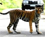 Tiger population growing at 6 percent annually: Govt