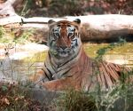 Amur tigers make 'remarka