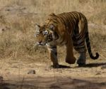 Tigress rescued from abandoned UP factory