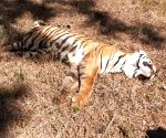 Tigress found dead in UP's Dudhwa buffer zone