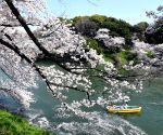 JAPAN TOKYO CHERRY BLOSSOMS PETALS