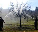 Tree spray oil sprinkled at apple orchard in J&K