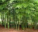 Free Photo: Tripura Bamboo