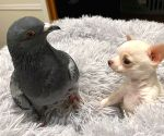 True friendship: A flightless pigeon and puppy who can't walk