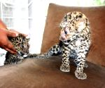 Two leopard cubs rescued at Margherita