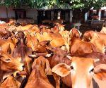 VHP to set up 'Gau Raksha' committees, appoint 'Gau Rakshaks'