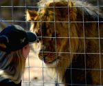 SOUTH AFRICA VAALWATER SANCTUARY RESCUED LIONS