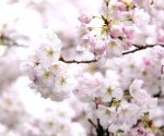 8th cherry blossom festival in Vancouver