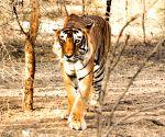 WB polls: Sena 'tiger' to take on Royal Bengal Tigress