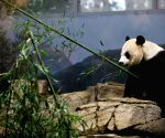 U.S.-WASHINGTON D.C.-NATIONAL ZOO-GAINT PANDA HOUSE-HOUSEWARMING EVENT