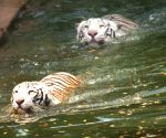 Nehru Zoological park - White tigers