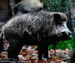 Boars pig on cocaine worth Rs 15 lakh in Italy forest