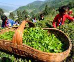 CHINA HUBEI PUPILS TEA PICKING