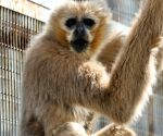 CHINA YANTAI WHITE CHEEKED GIBBON