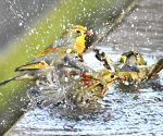 CHINA HUBEI RED BILLED LEIOTHRIX