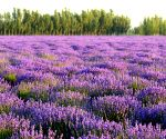 Decoded: How smell of lavender helps you unwind