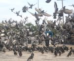 Youth kills 11 pigeons to avenge 'insult'