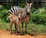 Free Photo: Zebra foal born in Bengaluru zoo amid Covid