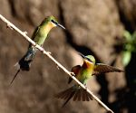 CHINA YUNNAN BLUE TAILED BEE EATER