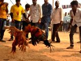 Cockfight underway in Hyderabad on Jan 15, 2018. The Supreme Court on 12th Jan, 2018 had dismissed the appeal against an order of the Hyderabad High Court order directing the Andhra ...