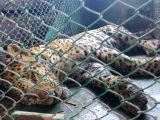 The young leopard that strayed into the Suzuki Powertrain on 5th October after being rescued unhurt at Manesar in Haryana on Oct 6, 2017.