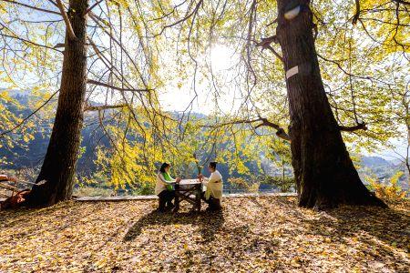 CHINA-CHONGQING-GINKGO TREES