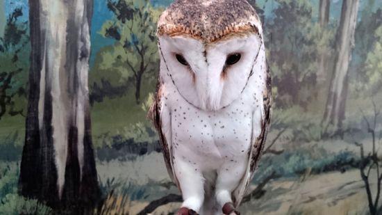 Australian Masked Owl in the Dreamworld theme park, Gold Coast (Credit: Neena Bhandari)