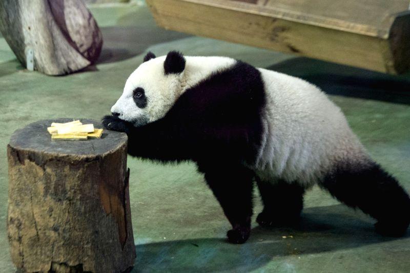 "Giant panda cub ""Yuanzai"" eats at the Taipei Zoo in Taipei, southeast China's Taiwan, Jan. 7, 2014. The cub, born on July 6, 2013, is the first ..."