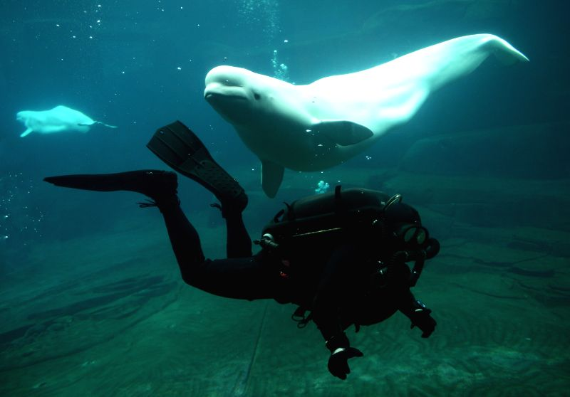 Royal Canadian Navy diver Andy O'Brien swims in a beluga tank during Vancouver Aquarium's 16th annual Diver's Weekend in Vancouver, Canada, on Jan.18,