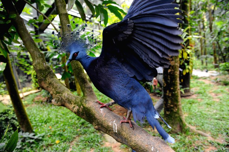 "Photo taken on Jan. 21, 2015 shows a Victoria crowned pigeon resting on a branch in the ""Wings of Asia"" aviary in Singapore's Jurong Bird ..."