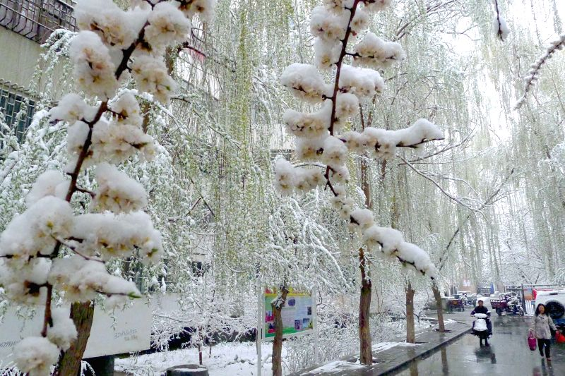 Flowers are covered by snow in Hami, northwest China's Xinjiang Uygur Autonomous Region, April 3, 2015. A cold front brought snowfall to Hami on Friday. ...