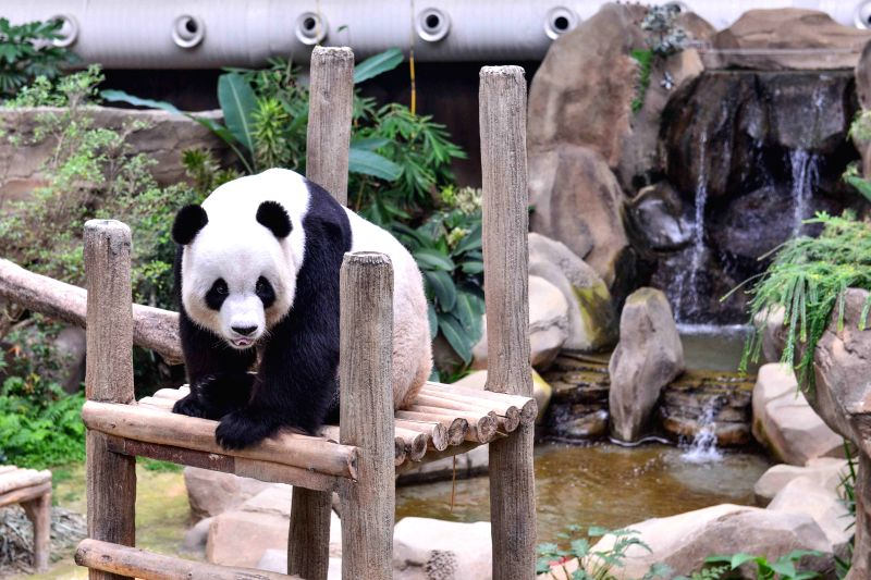 Photo taken on on Aug. 19, 2015 shows giant panda Xing Xing at the National Zoo of Malaysia in Kuala Lumpur, Malaysia. A giant panda from China ... - Najib Razak