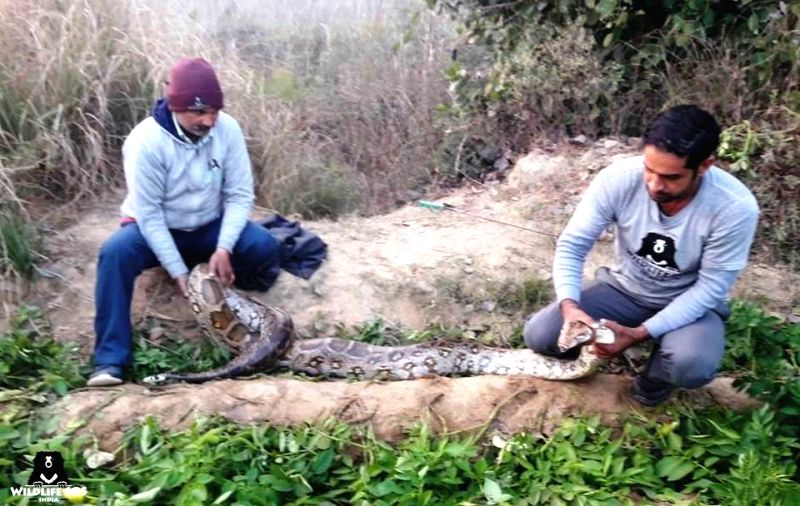 A 12-foot-long python that was rescued by experts of the Wildlife SOS from Agra on Jan 29, 2018.
